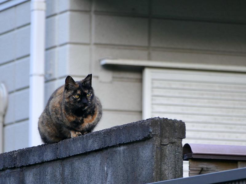 ブロック塀のサビ柄猫