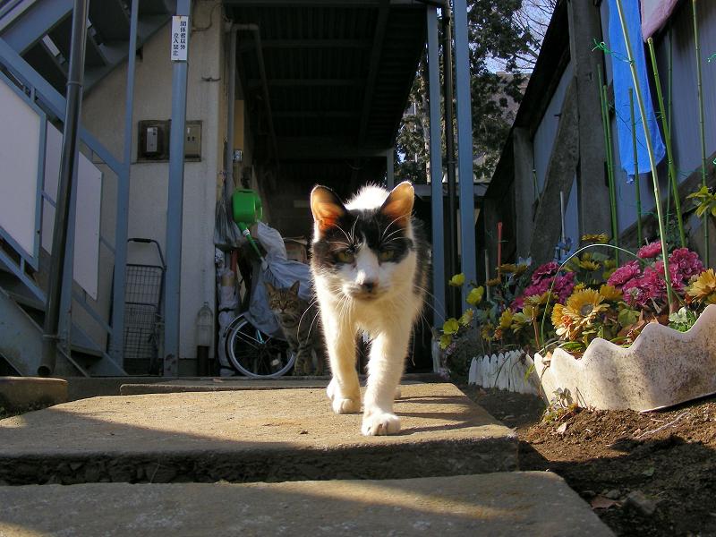 アパートから出てきた白黒猫2