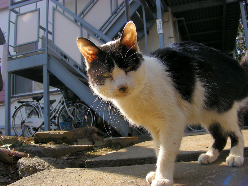 アパートから出てきた白黒猫3