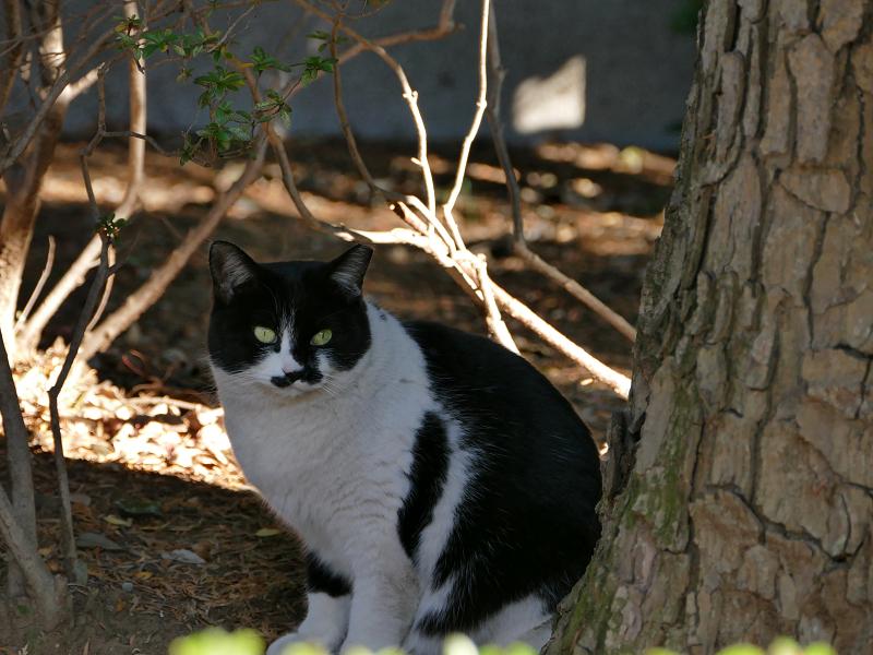 すぐに逃げた黒白猫2