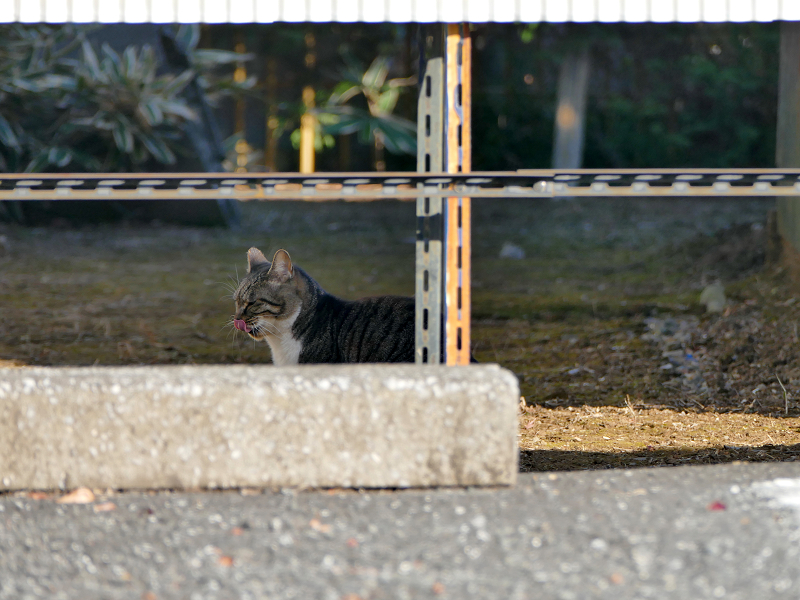 空き地のキジトラ猫1