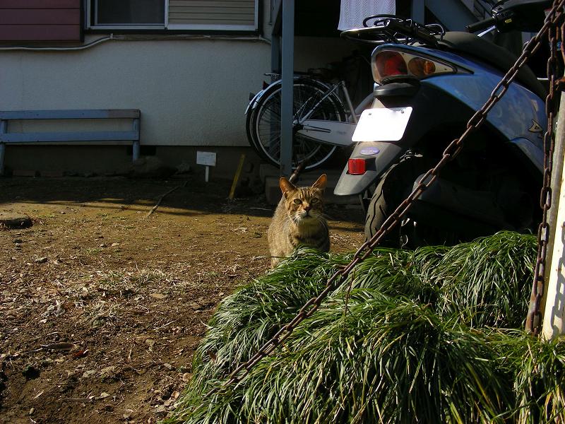 空き地のキジトラ猫3