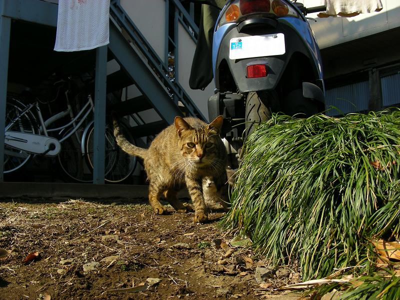 アパートから出てきた猫のローアングル2