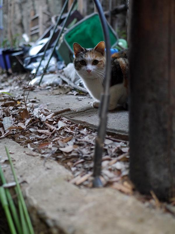 ゴチャゴチャした場所の三毛猫1