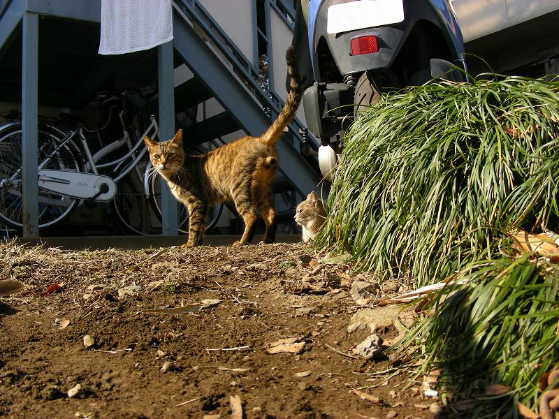 玉アリキジトラ猫のローアングル1