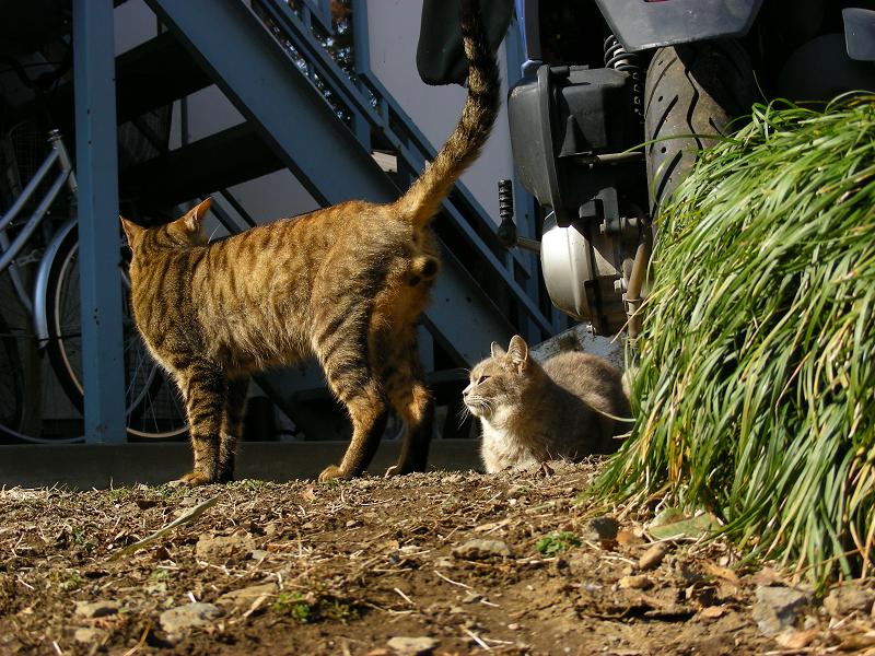 玉アリキジトラ猫のローアングル2