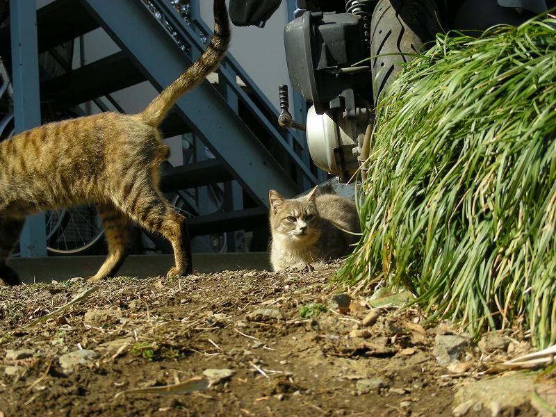 玉アリキジトラ猫のローアングル3