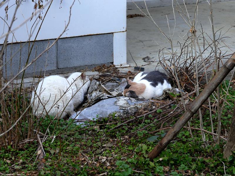 空き地で寝てる猫たち1