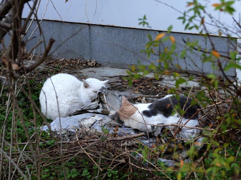 空き地で寝てる猫たち2