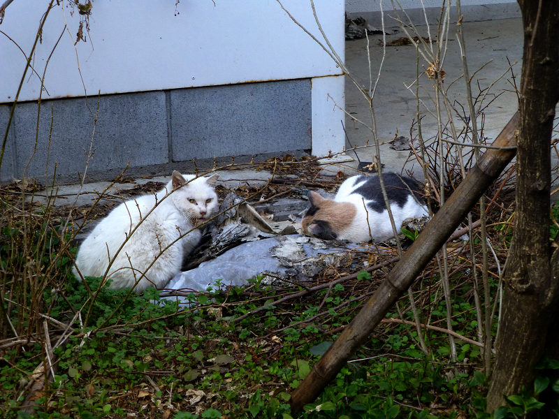 半分目覚めた空き地の猫2