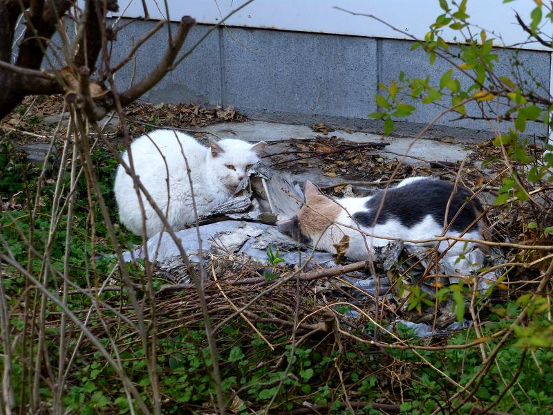 半分目覚めた空き地の猫3