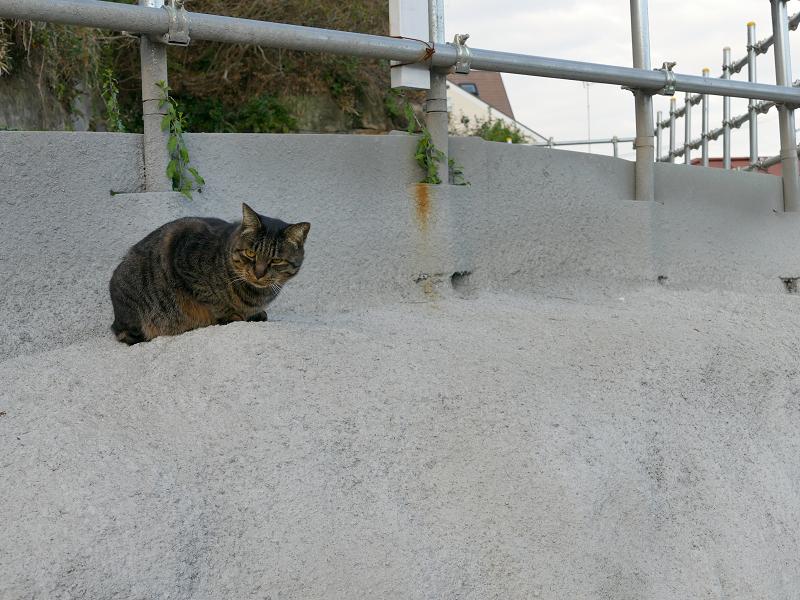 白い壁のキジトラ猫1