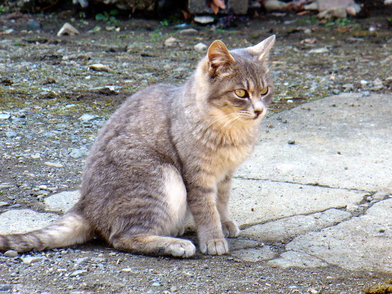 ベロを出す猫の横姿1