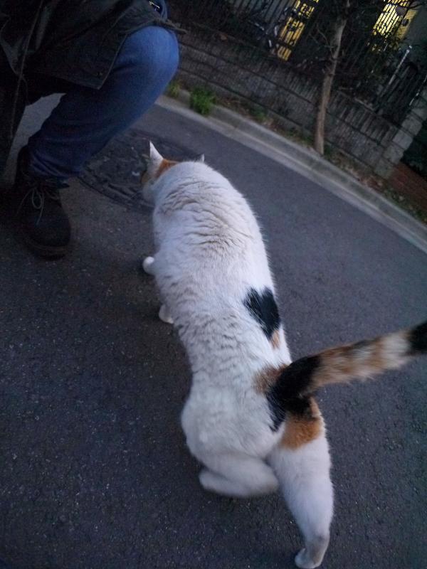 伸びながら近付く三毛猫1