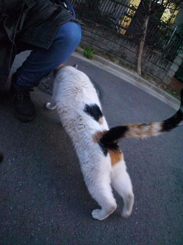 伸びながら近付く三毛猫2