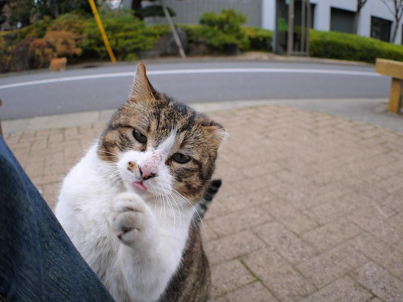 甘え上手なキジ白猫3