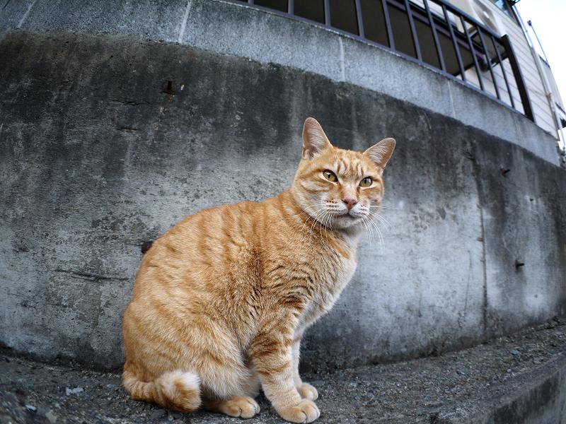 男前な茶トラ猫