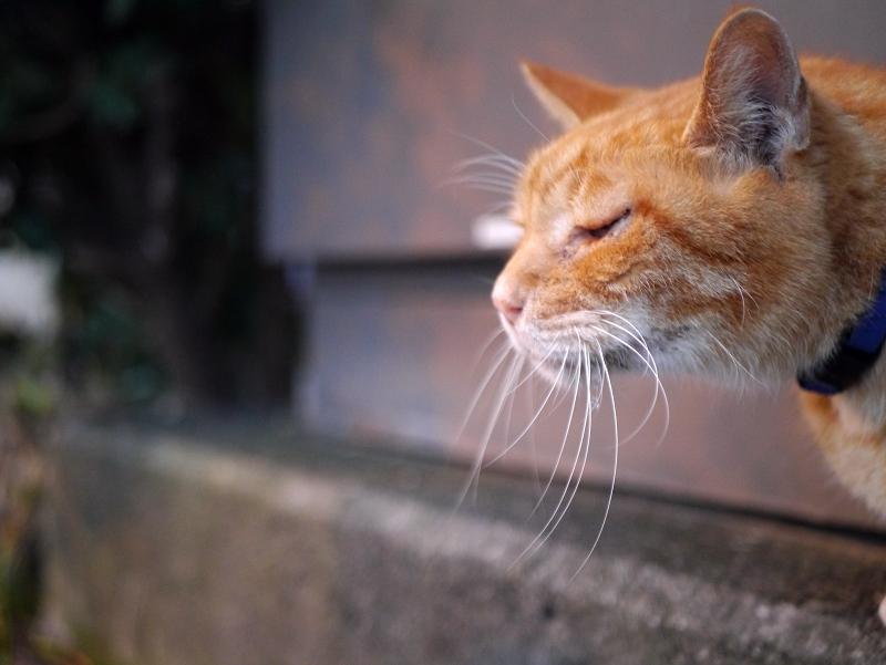 最後に会う茶白猫1