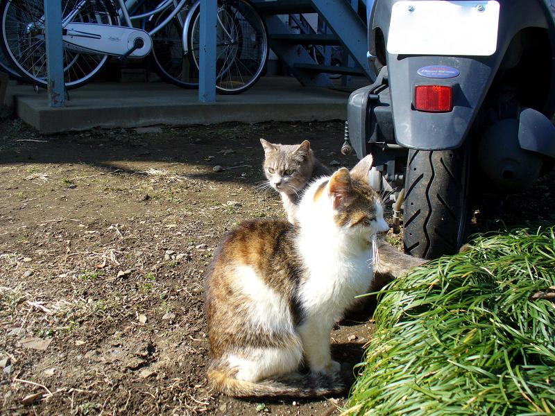 アパート駐車場の猫たち3