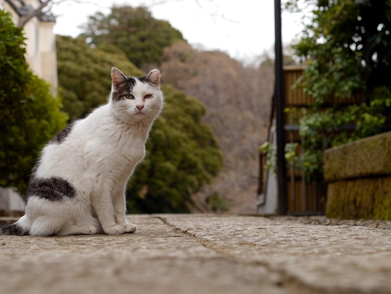 境内の白キジ猫1