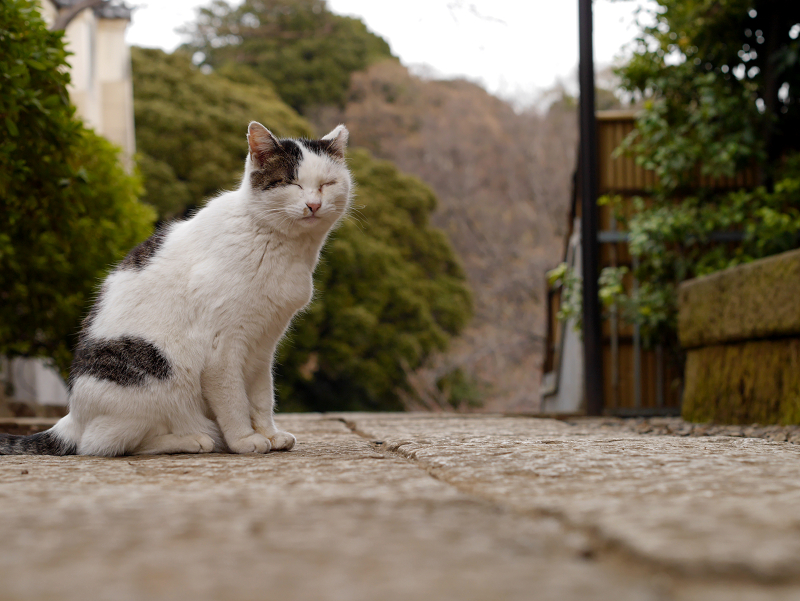 境内の白キジ猫2