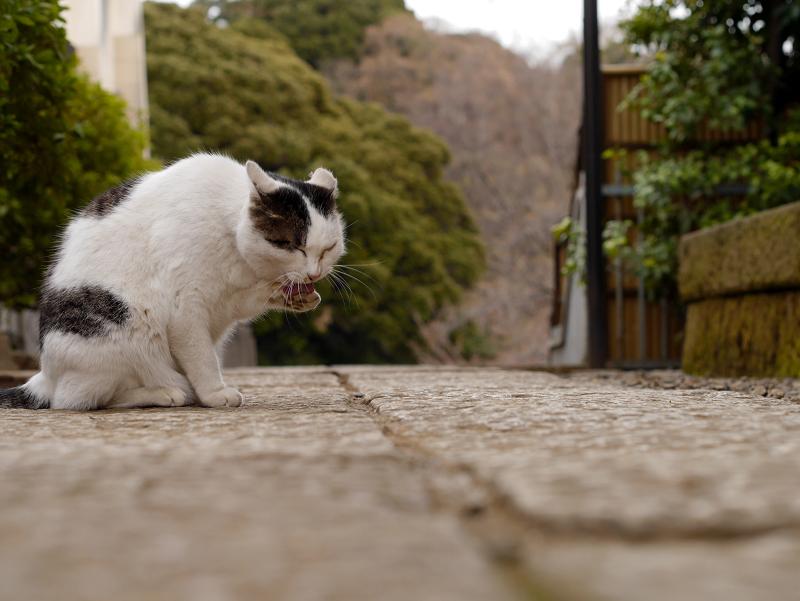 境内の白キジ猫3