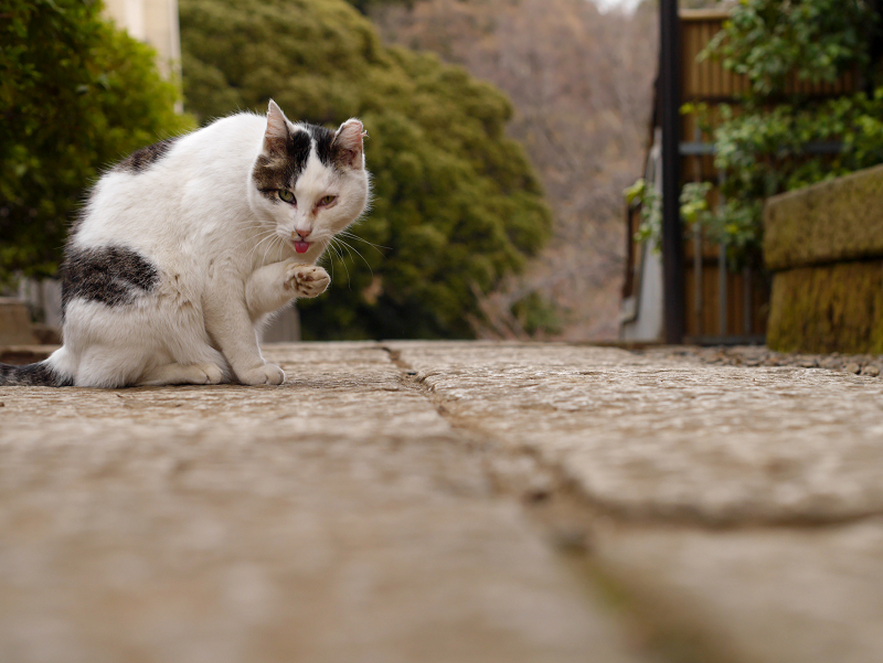 境内の白キジ猫