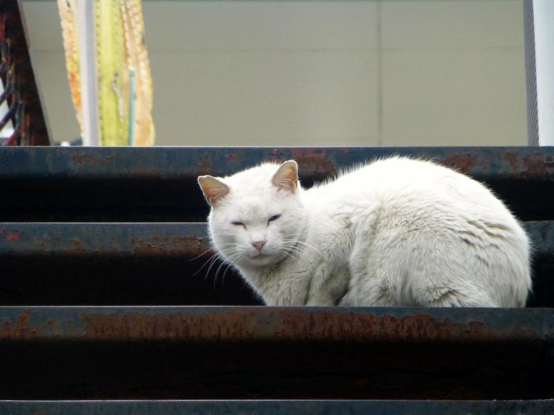 階段の白猫