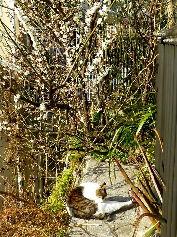 梅とキジ白猫1