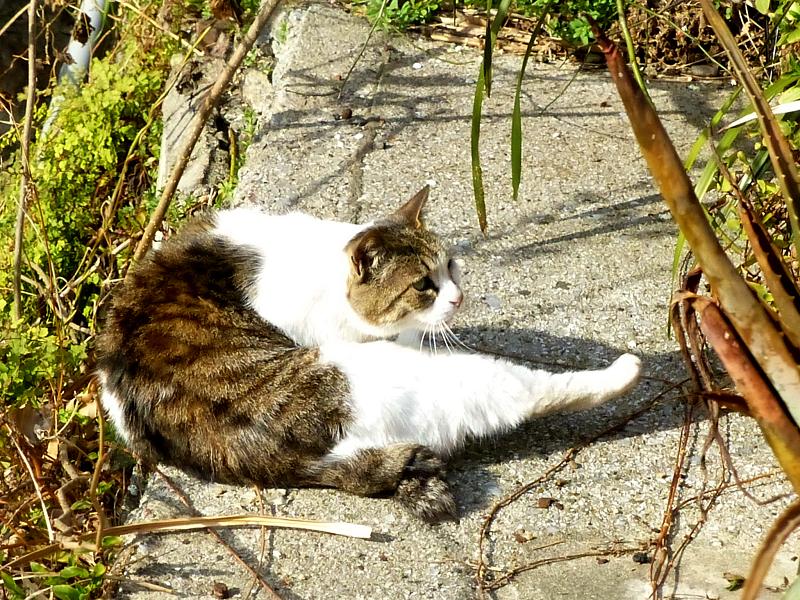 梅とキジ白猫2