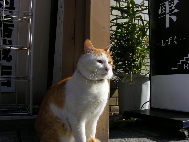 商店街の白茶猫2
