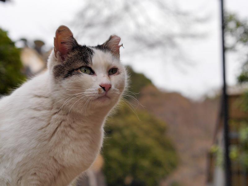 夕暮れ空と白キジ猫1