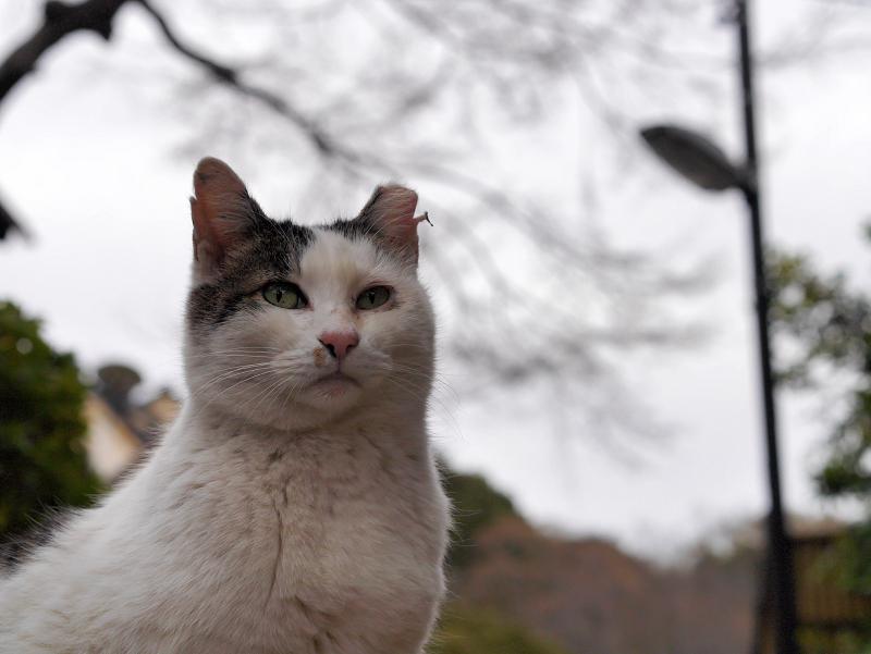 夕暮れ空と白キジ猫2