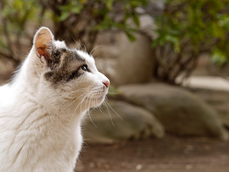 夕暮れ空と白キジ猫3