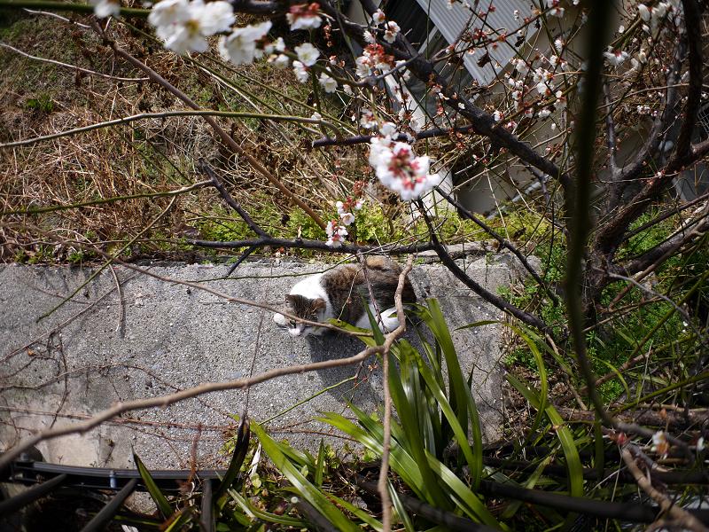 梅と広角キジ白猫1