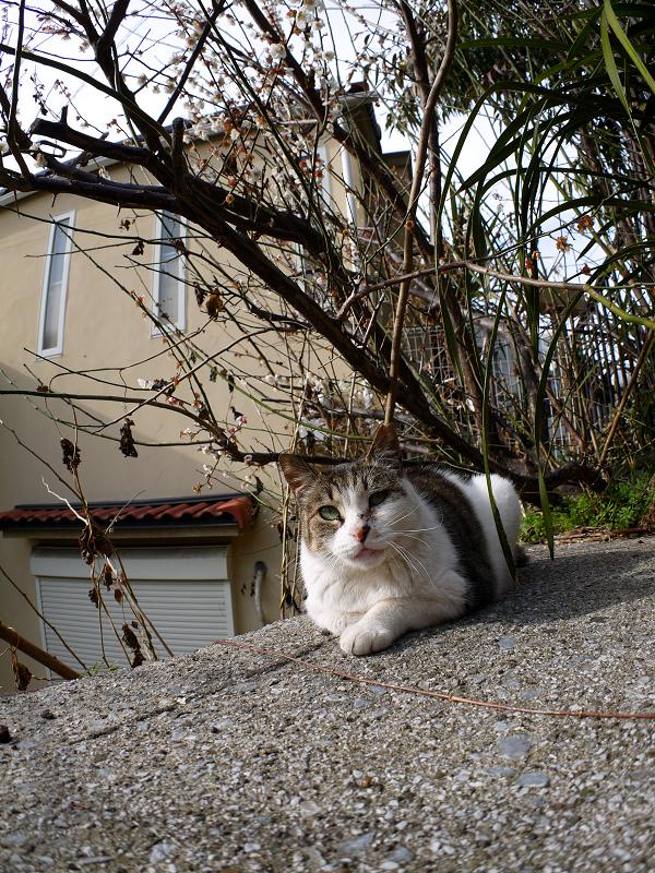 梅と広角キジ白猫2
