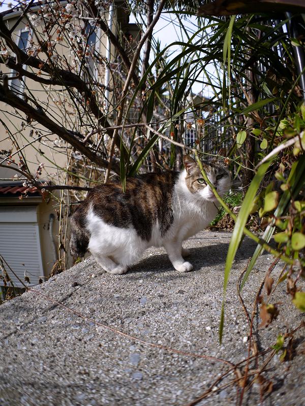 梅と広角キジ白猫3