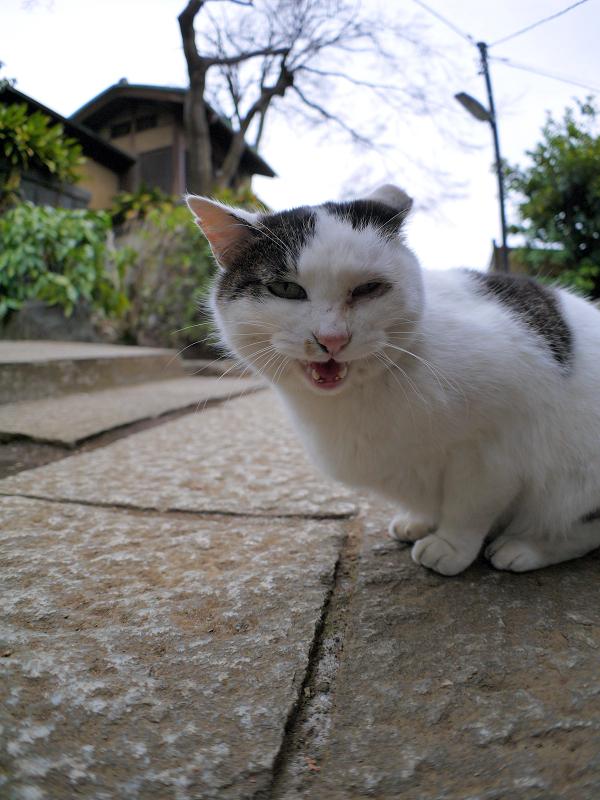 境内石畳と白キジ猫1