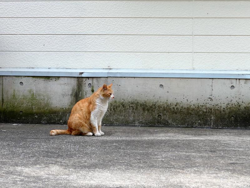 壁と茶白猫1