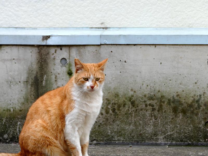壁と茶白猫2