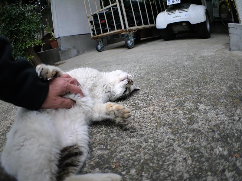 コンクリートと白キジ猫2