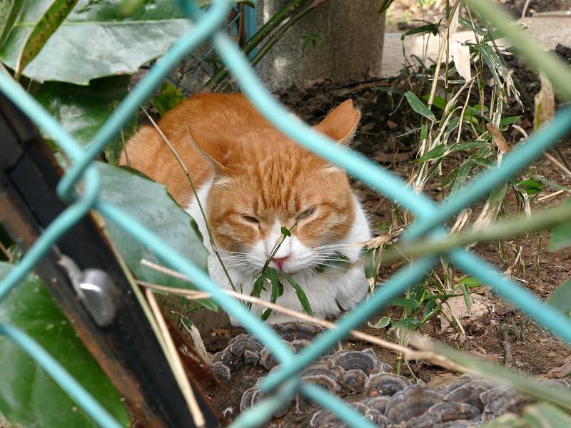 金網フェンスと茶白猫1