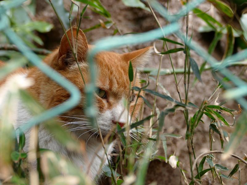 金網フェンスと茶白猫2