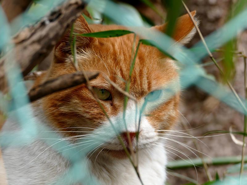 金網フェンスと茶白猫3