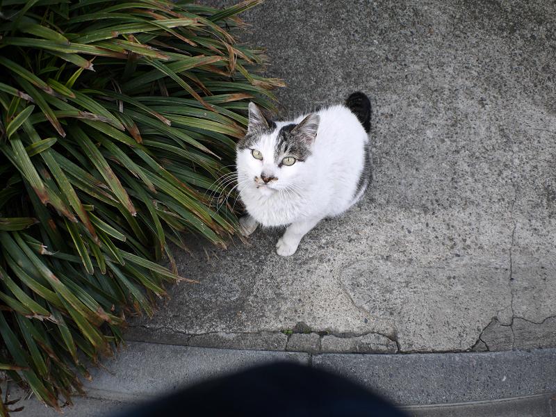 見上げる白キジ猫1