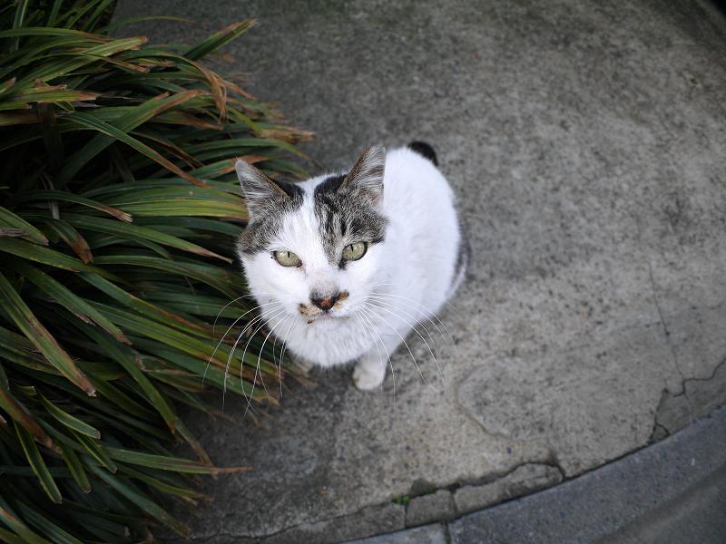 見上げる白キジ猫2