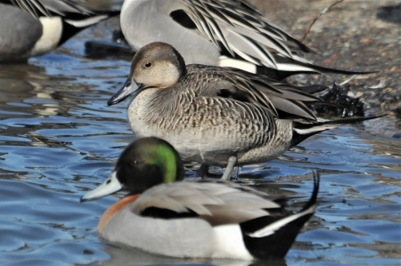 intersex-pintail