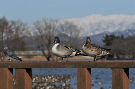 pintail-pair
