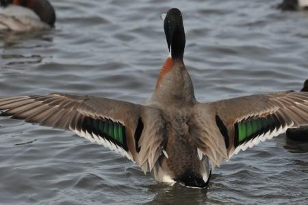 wing-mallapin