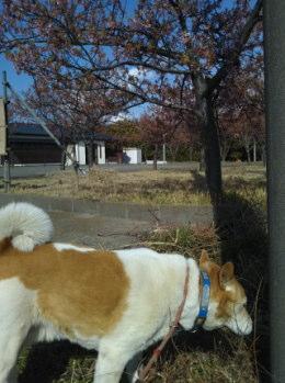 葉桜になりかけている河津桜とゴンタ